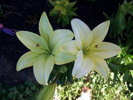 white lilly 2 by RBrownKreationz