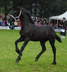 Friesian Foal Stock 02 by ponystock