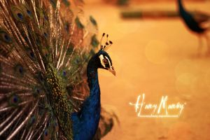 peacock by hany4go10