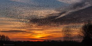 Starlings murmuration in Holland .....I.... by Betuwefotograaf