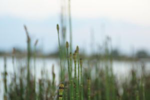 Reeds by bowtiephotography