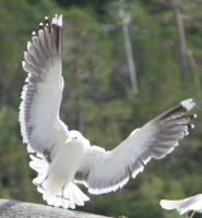 Seagull 8 by Chance-STOCK