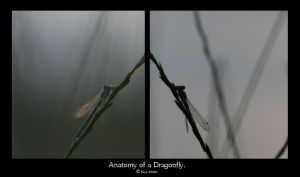 Anatomy of a Dragonfly. by FSGPhotography