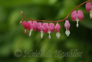 Bleeding Hearts 2013-05-27-s2-009 by 12monthsOFwinter
