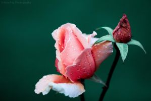 Rose by RosaFayPhotography