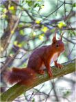 Eurasian Squirrel by Swordtemper