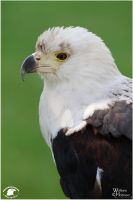 2011-79 African Fish Eagle by W0LLE