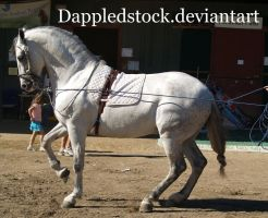 Andalusian 07 by dappledstock