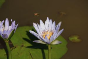 Bee and water lily by emeraldeye14