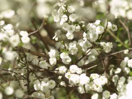 White flowers by Irie-Stock