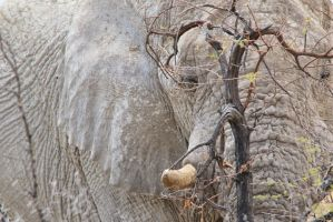African Elephant - A Bull and his Tree by LivingWild