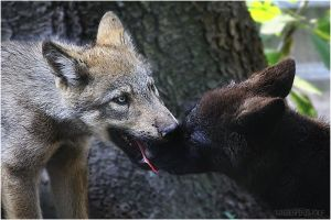 Wolfies.:Omnomnom:. by WhiteSpiritWolf