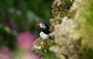Puffin by Philip-flop