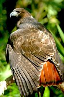 Red Tail Display by Kippenwolf