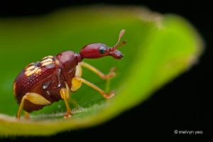 Leaf rolling weevil by melvynyeo