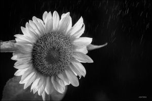 Sunflower BW by Jack-Nobre