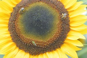 Pollen Station, Bees and Sunflower 6 by Miss-Tbones