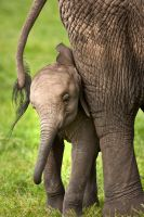 African Elephant 8 by catman-suha