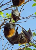 Flying Fox's by ozplasmic