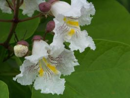 Catalpa by Sye216