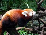 The Lazy Red Panda by lovelyrose37