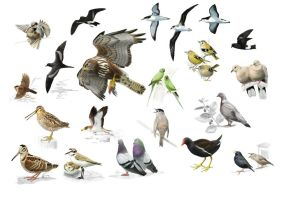 Breeding Birds of the Azores - Miniposter by omnicogni