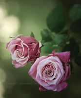 Roses with thorns ... by aoao2