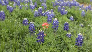 Indian Paintbrush in some Bluebonnets by Tectix