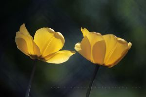 Tulips Through Chain Link by andras120