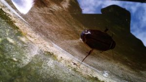 Great diving beetle by thargor6