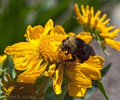 Big Bumble by MartinGollery