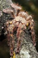 P.ornata sub-adult 1 by dimocritus