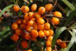 Seabuckthorn  002 by lumpi691stock