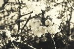Cherry blossoms - Old style - Print by L0stLove