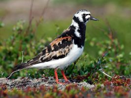 Ruddy Turnstone 01 by nordfold