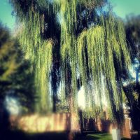 Weeping Willow. by WhatIsBeauty1