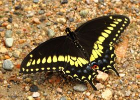 Topside view of a Black Swallowtail butterfly by natureguy