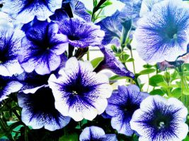 purple petunias by IamNasher