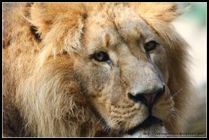 Lion portrait by AF--Photography