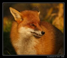 Wiley And Cunning As A Fox by andy-j-s