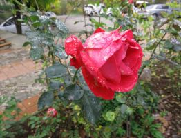 Raindrops on Roses by ShipperTrish