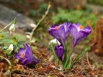 crocuss by Bodghia
