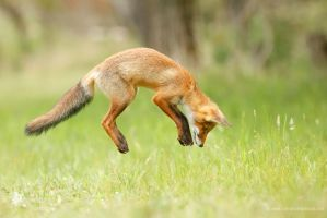 Jumping Red Fox by thrumyeye