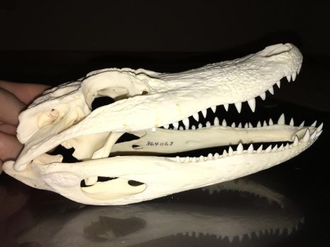 Alligator mississippiensis (skull) by Adjacent-Scrambler