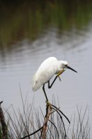 Snowy Egret Scratchin 3 of 3 by Shadow848327