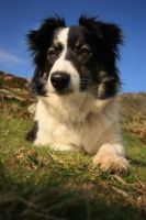 Border Collie Resting by twilliamsphotography