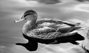 Duck by NickSpiker