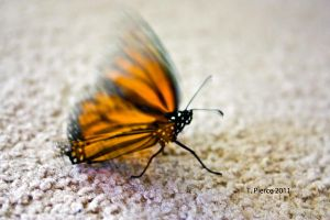 Monarch III by thriftyredhead