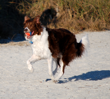 Running Red Border Collie by CompassLogicStock