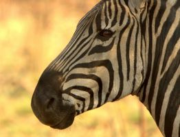 Zebra Face by cathy001